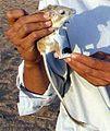 Banner-tailed kangaroo rat.jpg
