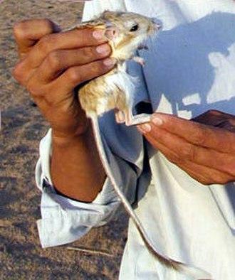 Banner-tailed kangaroo rat - Banner-tailed kangaroo rat