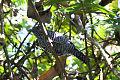 Bar-crested Antshrike (Thamnophilus multistriatus) (8079780679).jpg