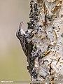 Bar-tailed Tree-creeper (Certhia himalayana) (36197642321).jpg