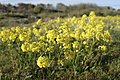 Barbarea vulgaris (Latin) Vinterkarse (Norwegian) Winter-cress Hedge mustard (English) Oslofjorden Hvasser Færder Norway 2020-05-08 7275.jpg