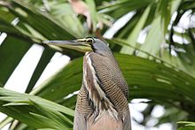 Bare-throated Tiger-Heron (Tigrisoma mexicanum) (5772348332).jpg