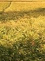 Barley Field - geograph.org.uk - 855382.jpg