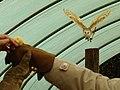Barn owl in flight - geograph.org.uk - 1752886.jpg