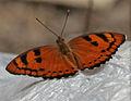 Baronet (Euthalia nais) in Kinnarsani WS, AP W IMG 5755.jpg