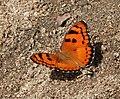 Baronet (Euthalia nais) in Narshapur, AP W IMG 1018.jpg