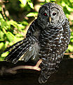 Barred-owl3.jpg