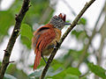 Barred Antshrike female CW.jpg