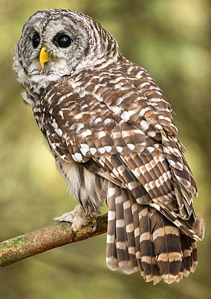 Barred owl - Barred pattern, Ontario, Canada