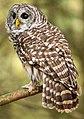 Barred Owl (Canada).jpg