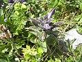 Bartsia alpina Rax.jpg