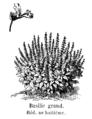 Basilic grand Vilmorin-Andrieux 1904.png