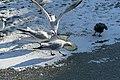 Bassin des Morts gelé, 2012-02-11, pigeon et mouettes rieuses.jpg