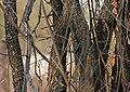 Bauhinia racemosa (Jhinjheri) bark W IMG 7404.jpg