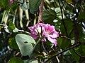 Bauhinia variegata 0001.jpg