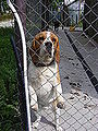 Beagle in Kennel.JPG