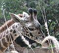 Beautiful Giraffe (3265501882).jpg