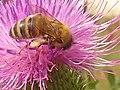 Bee On A Flower (137180023).jpeg