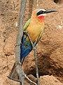 Bee eater in Selous Game Reserve.jpg