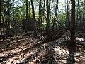 Beech forest Bijela gora mid June.JPG