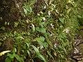 Begonia crenata (9932017606).jpg