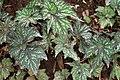Begonia rex 6zz.jpg