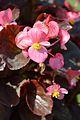 Begonia semperflorens - Alipore - Kolkata 2013-02-10 4781.JPG