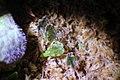 Begonia sp. Lita e.g. 4.jpg