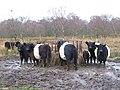 Belted Galloways feeding near Langley - geograph.org.uk - 1080813.jpg