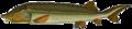 Beluga sturgeon - 2.png