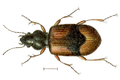 Bembidion andreae.png