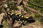 Benny Trapp Südspanischer Feuersalamander Salamandra longirostris.jpg