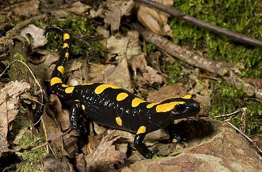 Benny Trapp Südspanischer Feuersalamander Salamandra longirostris
