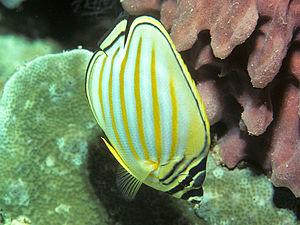 Chaetodon ornatissimus, Ornate butterflyfish, ...