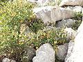 Berberis illyrica from Lonicero-Rhamnion falacis subalpine kurmholz Mt. Orjen.JPG