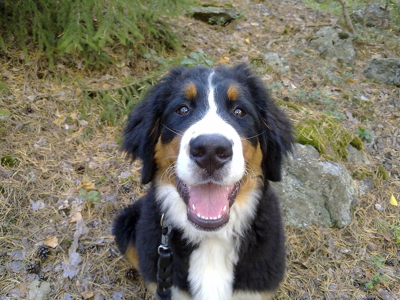 File:Berner Sennen dog Nutella.jpg - Wikimedia Commons Berner Sennen Pups
