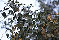 Betula pendula - Bela breza (2).jpg