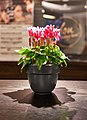 Bicolor cyclamens in a black pot.jpg