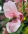 Biene Springkraut.jpg