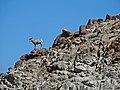Big Horn on Santa Rosa Mountain 3-15a (16568394458).jpg