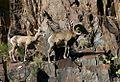 Bighorn sheep (1).jpg