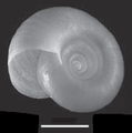 Biomphalaria tenagophila shell 2.png