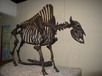 Bison antiquus - Bison antiquus