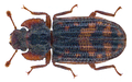 Bitoma lunaris (Pascoe, 1863) (28732432260).png