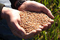 Blé tendre ferme de Pierre Seche 45300 Pannecières (Mr Christian Huttepain)-1-cliche Jean Weber (23454882184).jpg