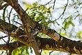 Black-and-white warbler (32896817848).jpg
