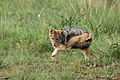 Black-backed jackal, Canis mesomelas, a young one playing with a root as a puppy plays with a ball at Rietvlei Nature Reserve, Gauteng, South Africa (15415255754).jpg