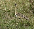 Black-bellied Bustard 1.jpg
