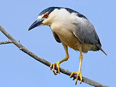 Black-crowned Night Heron - flickr.jpg