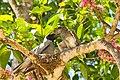 Black-faced cuckooshrike - AndrewMercer IMG23166.jpg
